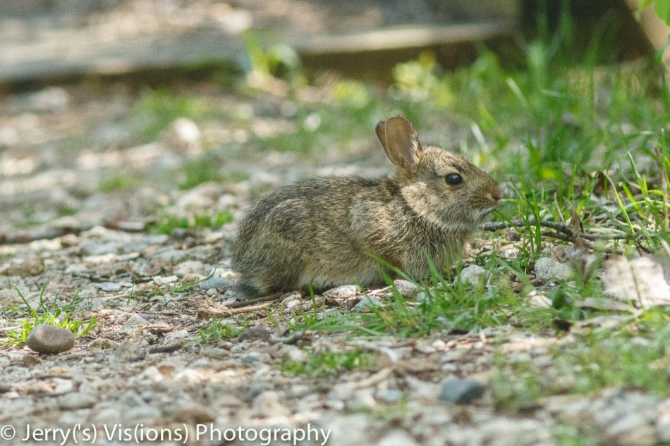 Juvenile cottontail rabbit
