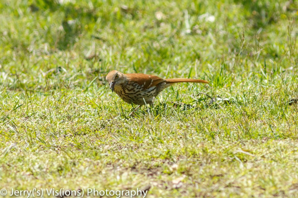 Brown thrasher eating a meal