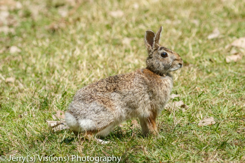 Adult cottontail rabbit 2
