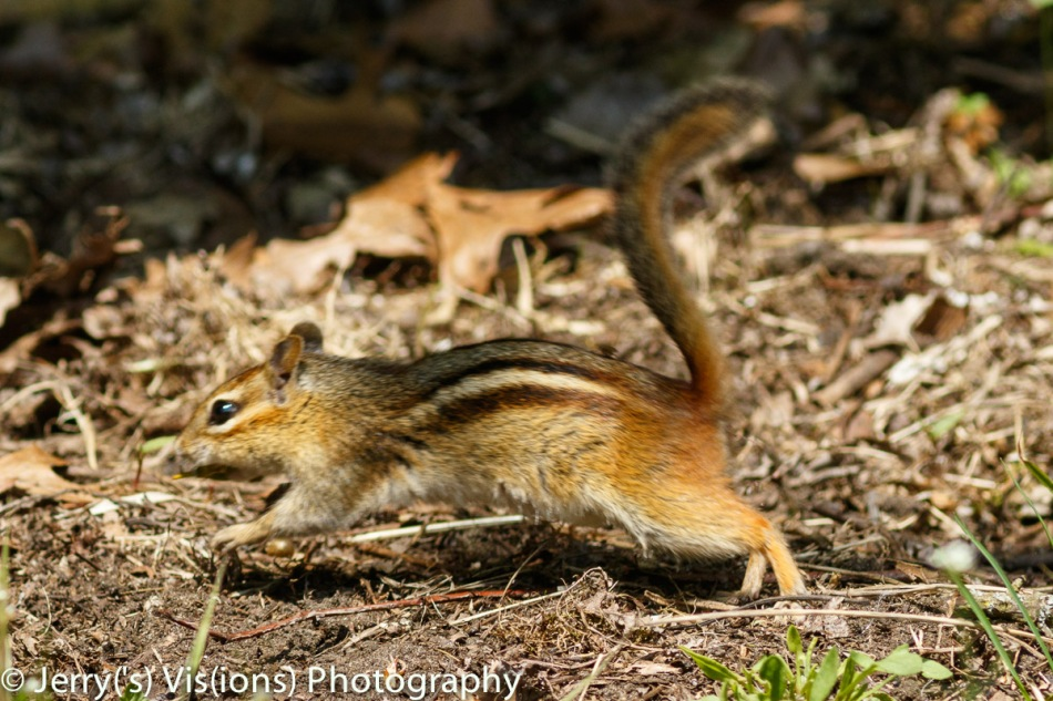 Eastern chipmunk on the run