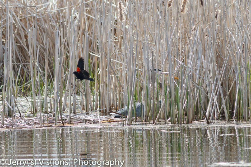 Male red-winged blackbird attacking a great blue heron