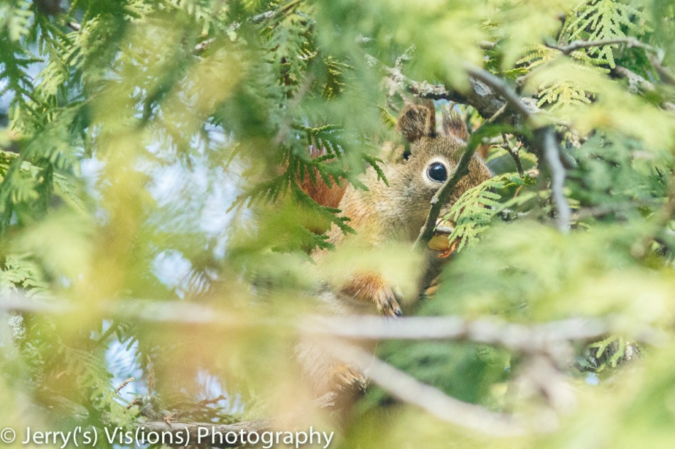 Red squirrel hiding