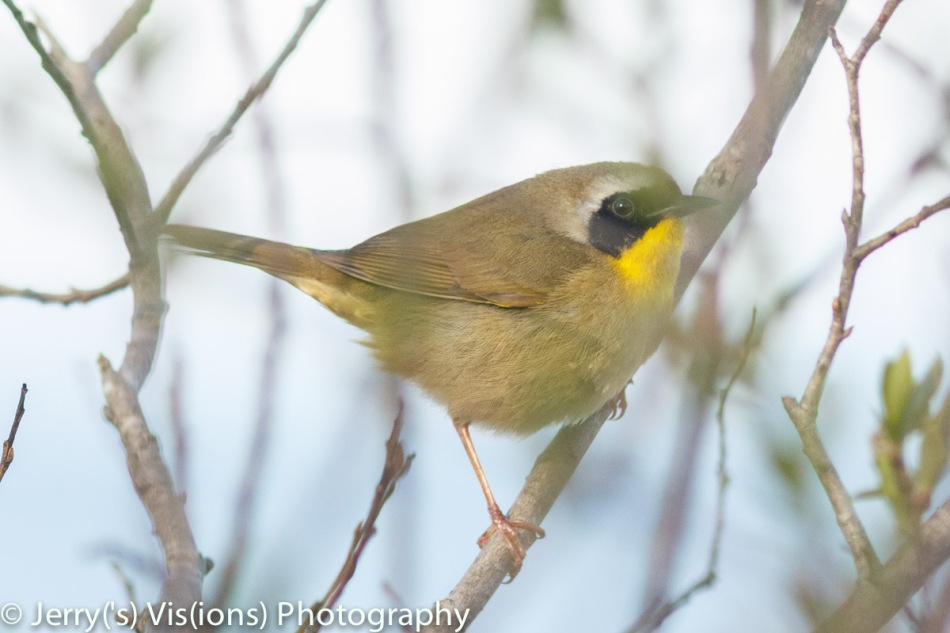 Male Common yellowthroat