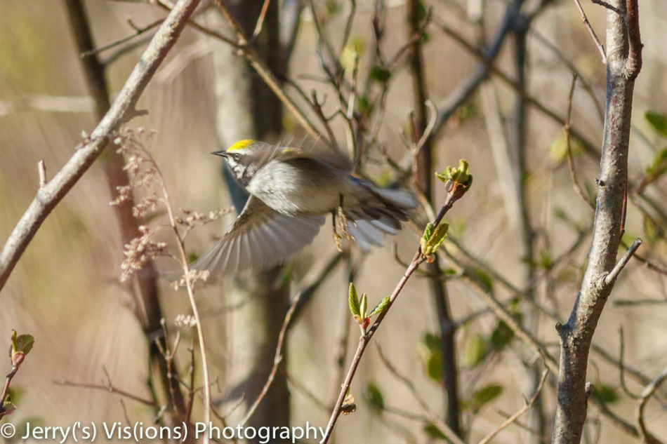 Chestnut-sided warbler in flight