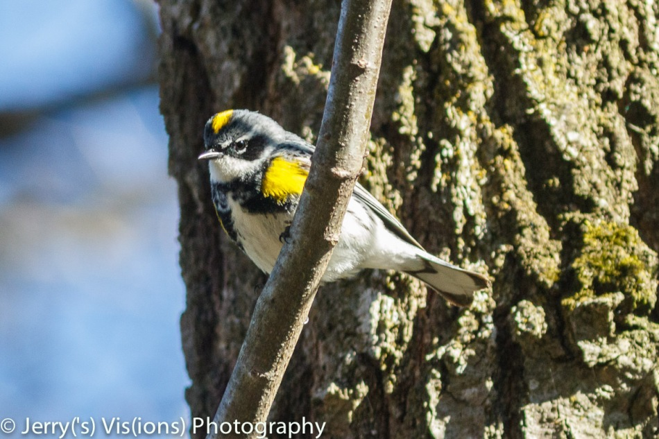 Yellow-Romped warbler