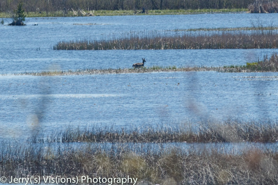 Whitetail deer crossing the Thunder Bay River