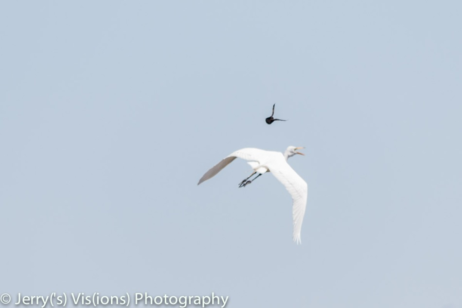 Great egret attack by a red-winged blackbird
