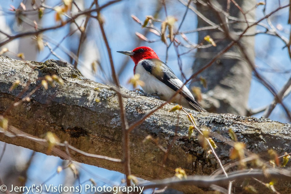 Male red headed woodpecker