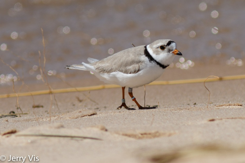 Piping Plover, Charadrius melodus