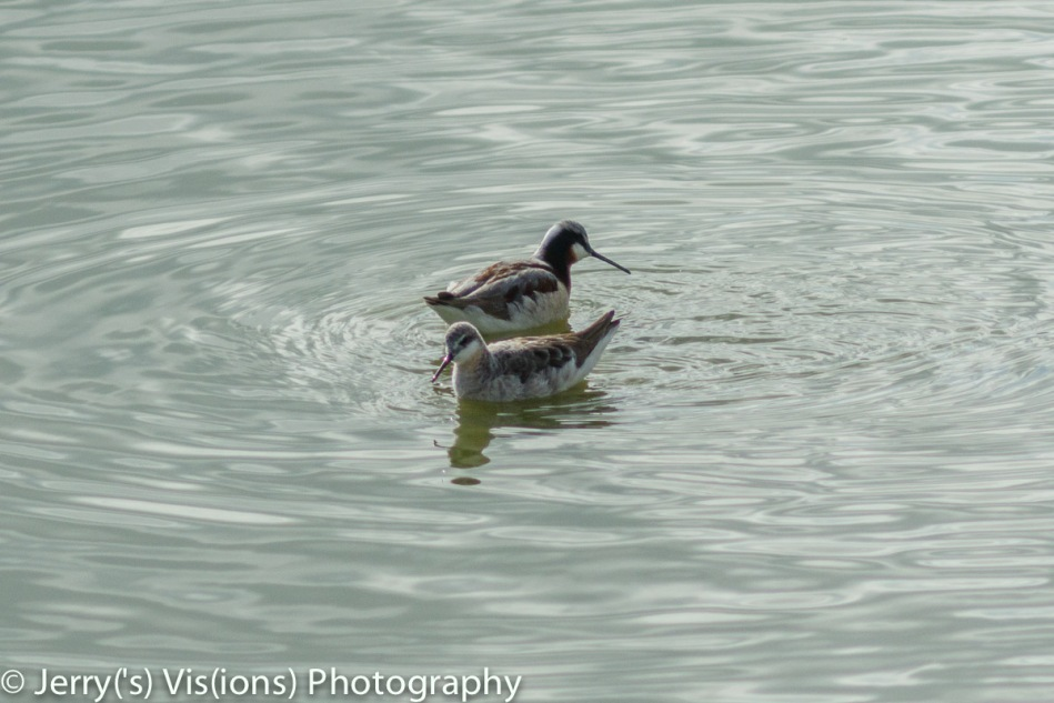 Male and female Wilson's phalarope