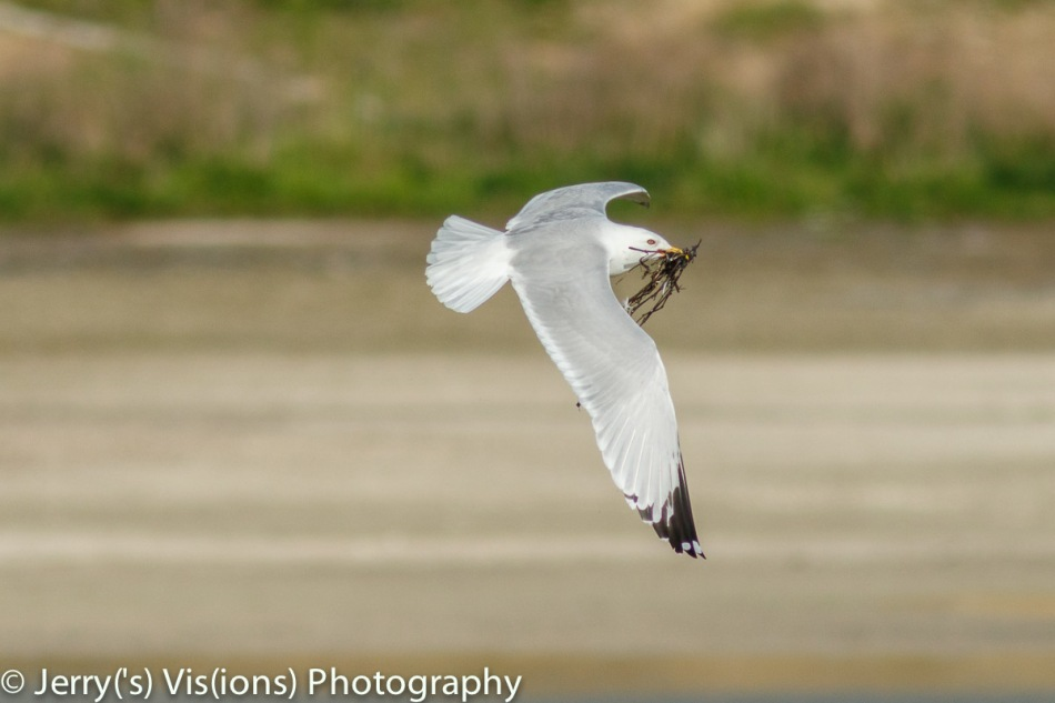 Ring-billed gull carrying nest material in flight