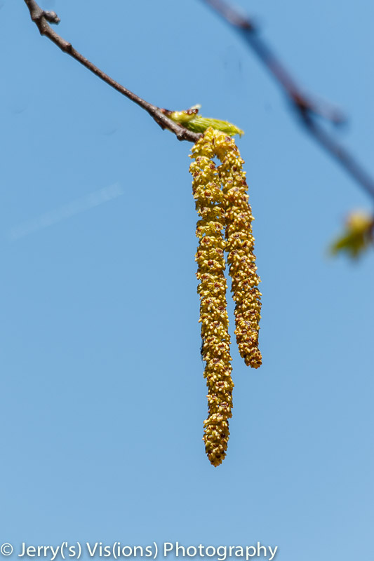 The catkins from a paper birch tree