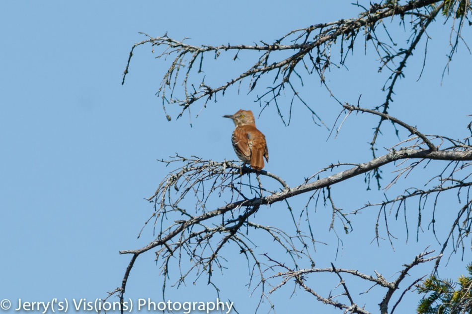 Brown thrasher not singing