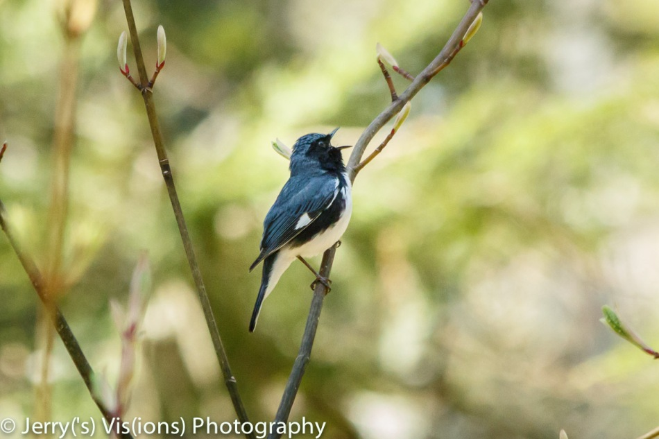 Male black-throated blue warbler singing