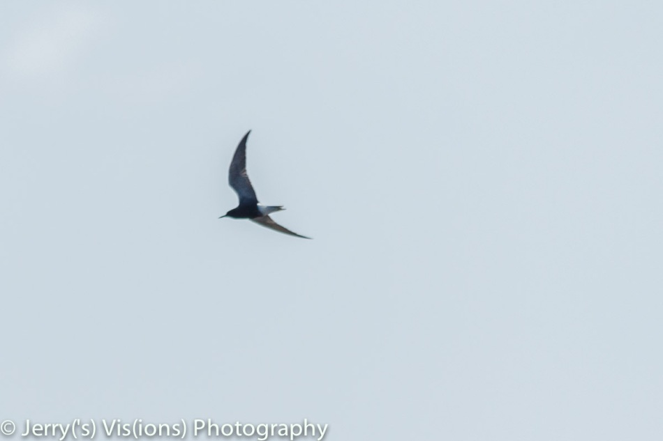 Black tern in flight