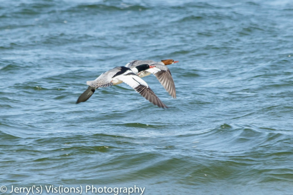 Common mergansers in flight