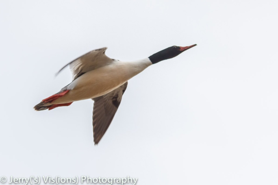 Male common merganser in flight