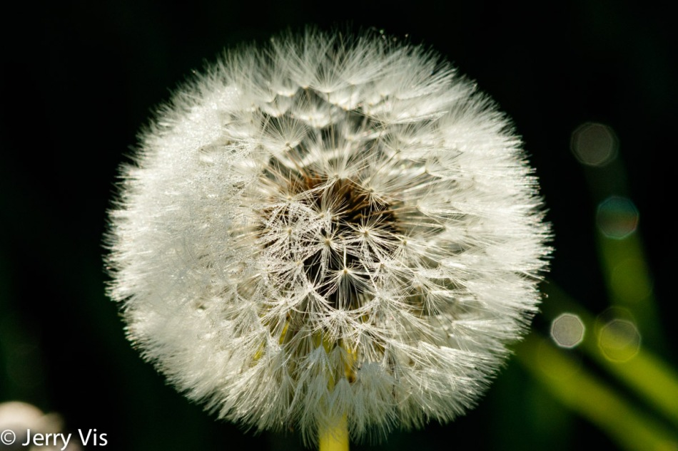 Future dandelions