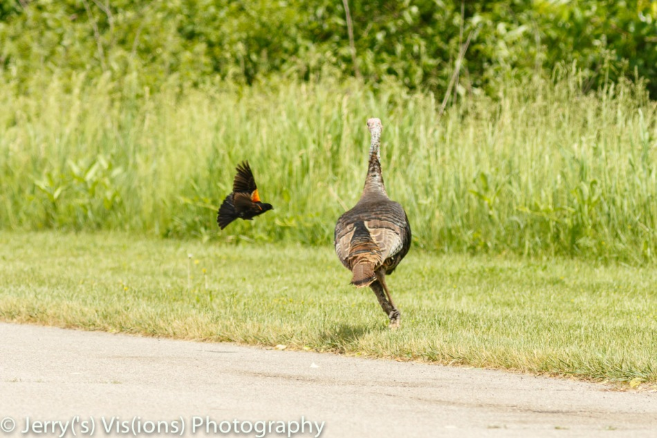 Male red-winged blackbird attacking a turkey