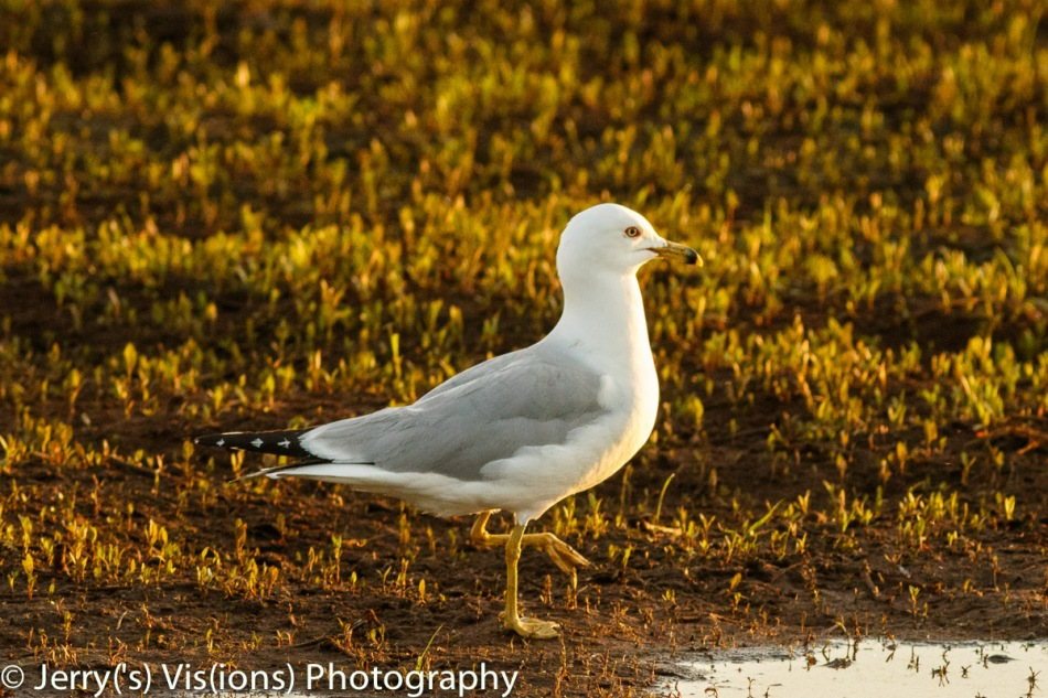 Ring-bill gull at dawn