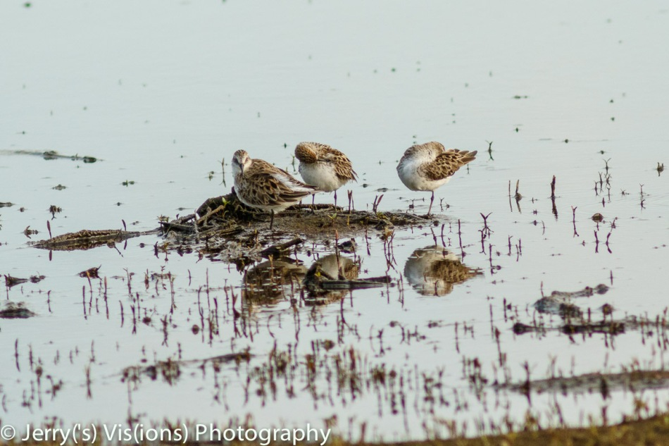 White-Romped sandpipers