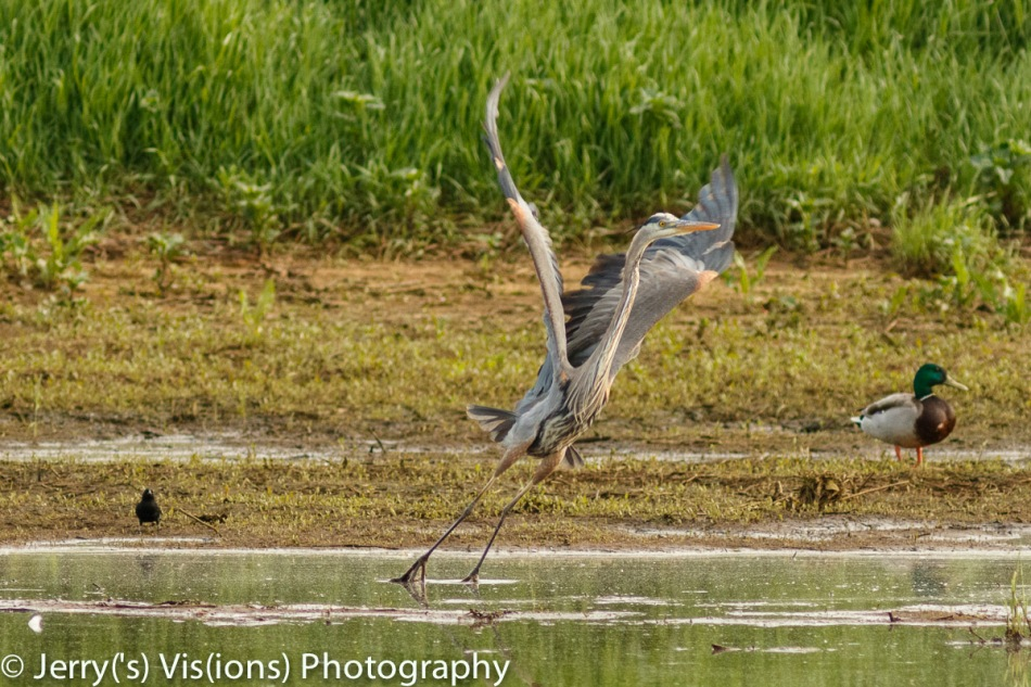 Red-winged blackbird scaring a Great blue heron