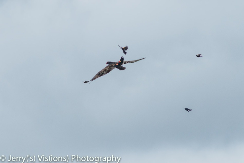Red-winged blackbirds attacking a turkey vulture.