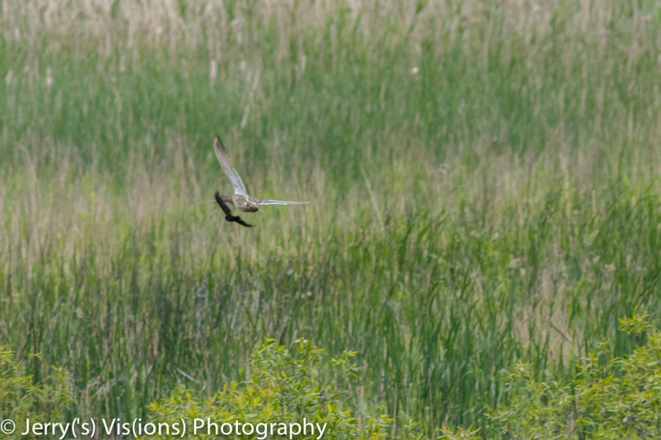 Red-winged blackbird chasing a female mallard