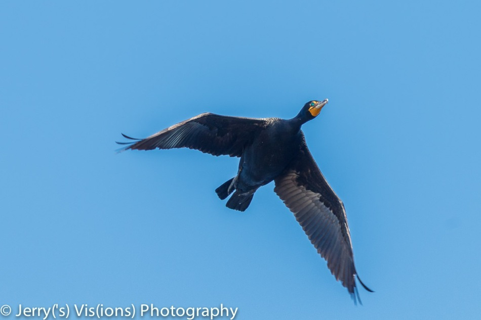 Double crested cormorant in flight