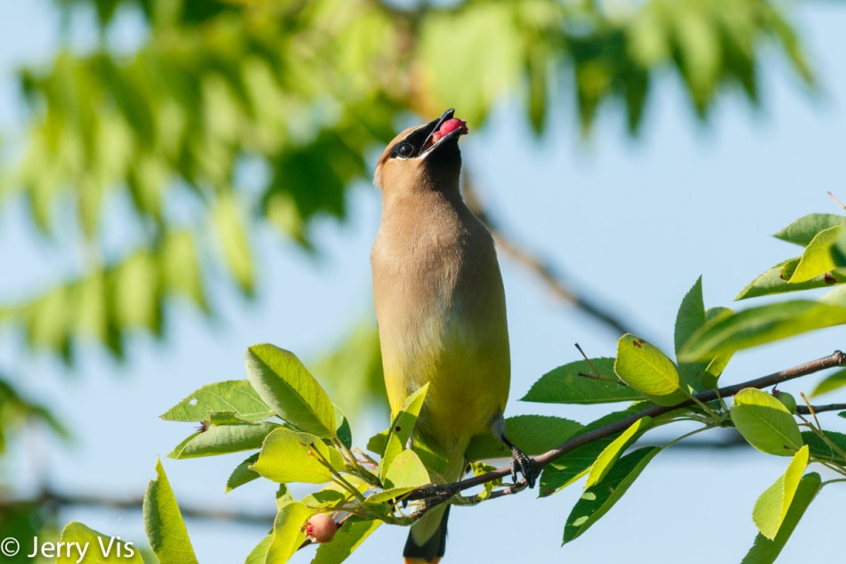 Cedar waxwing eating a mulberry