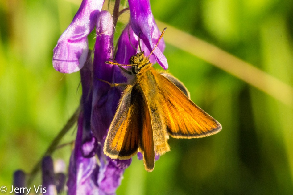Unidentified skipper