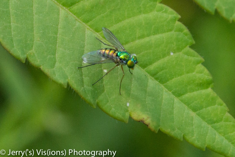 Green bottle fly?