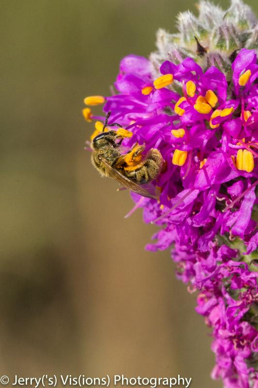 Unidentified bee on an unidentified flowering object