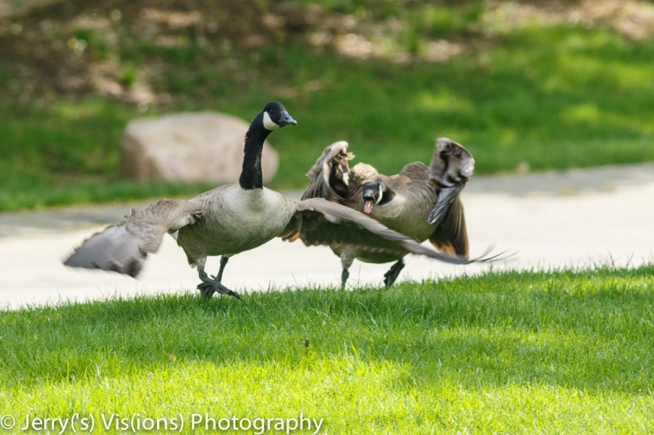 Canada geese in a territorial tussle