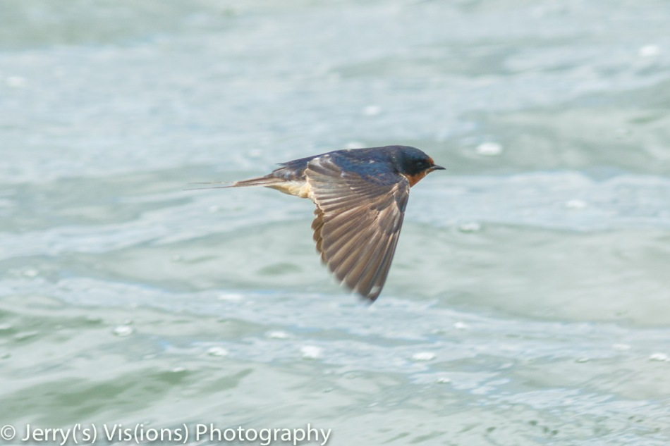 Barn swallow in flight