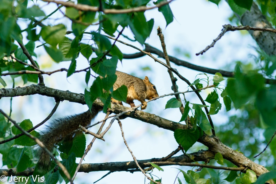 Pregnant squirrel building her nest