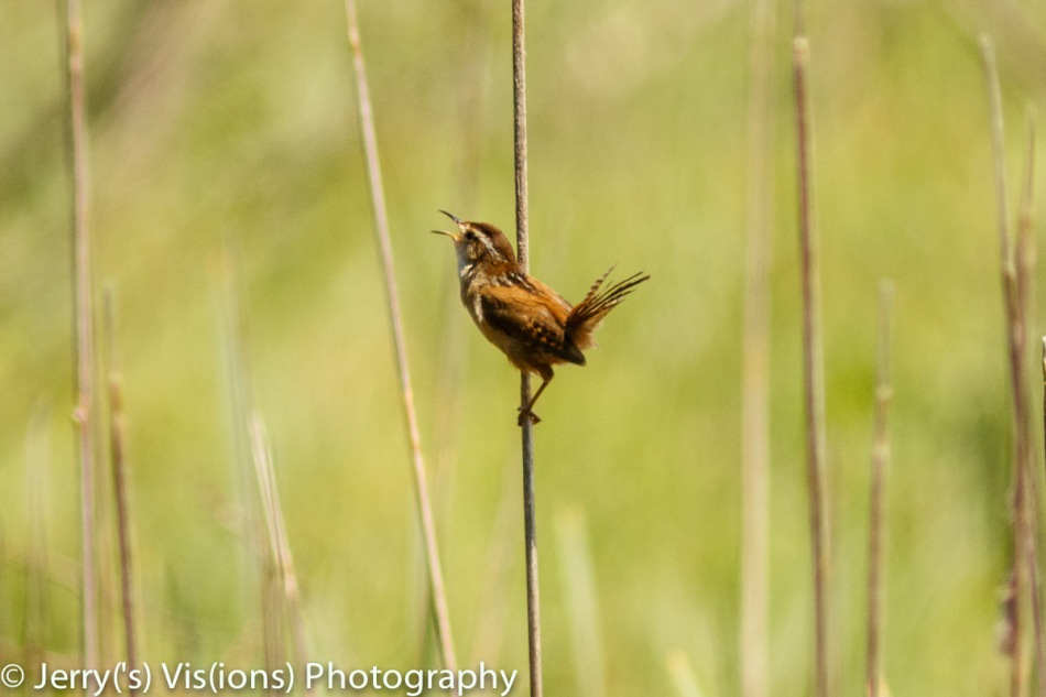Male marsh wren singing
