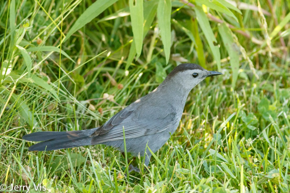 Grey catbird at my feet