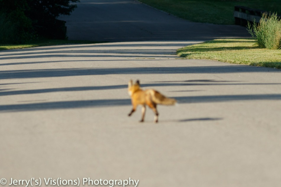 Out of focus red fox