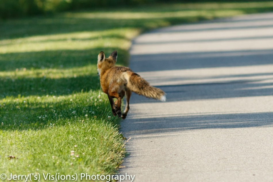 Red fox on the run