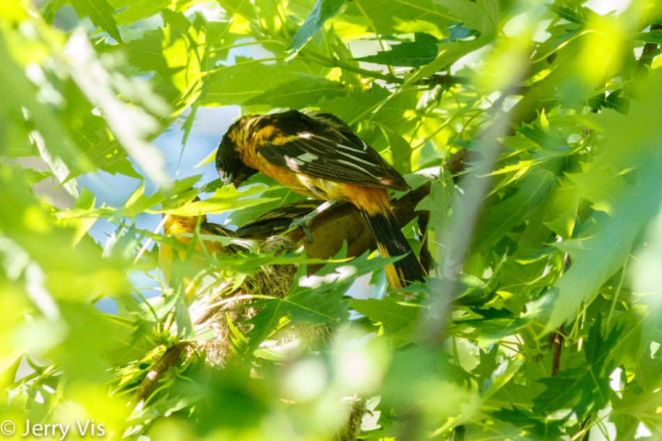 Male Baltimore oriole feeding his young
