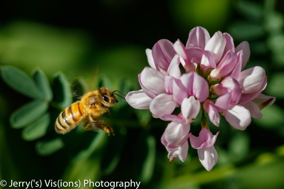 Honeybee and crown vetch