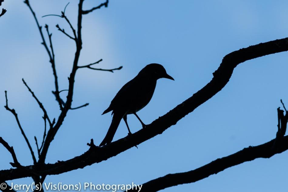 American robin in silhouette