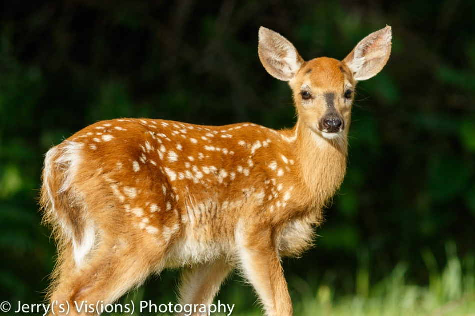 Bambi (Whitetail fawn)