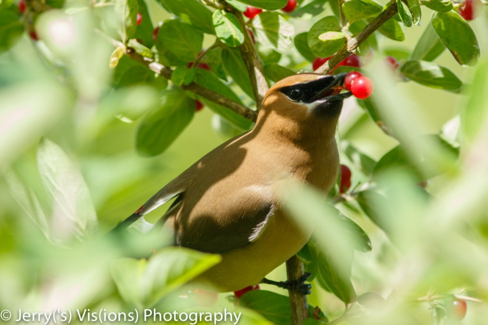 Cedar waxwings eating honeysuckle berries