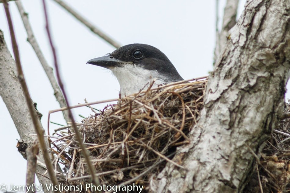 Female eastern kingbird on her nest