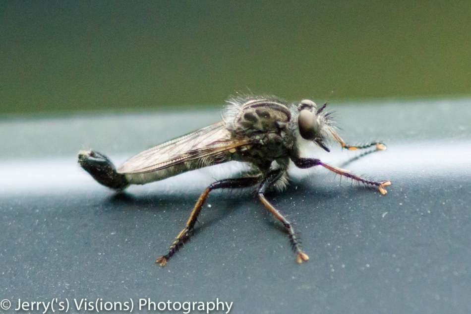 Robber fly?