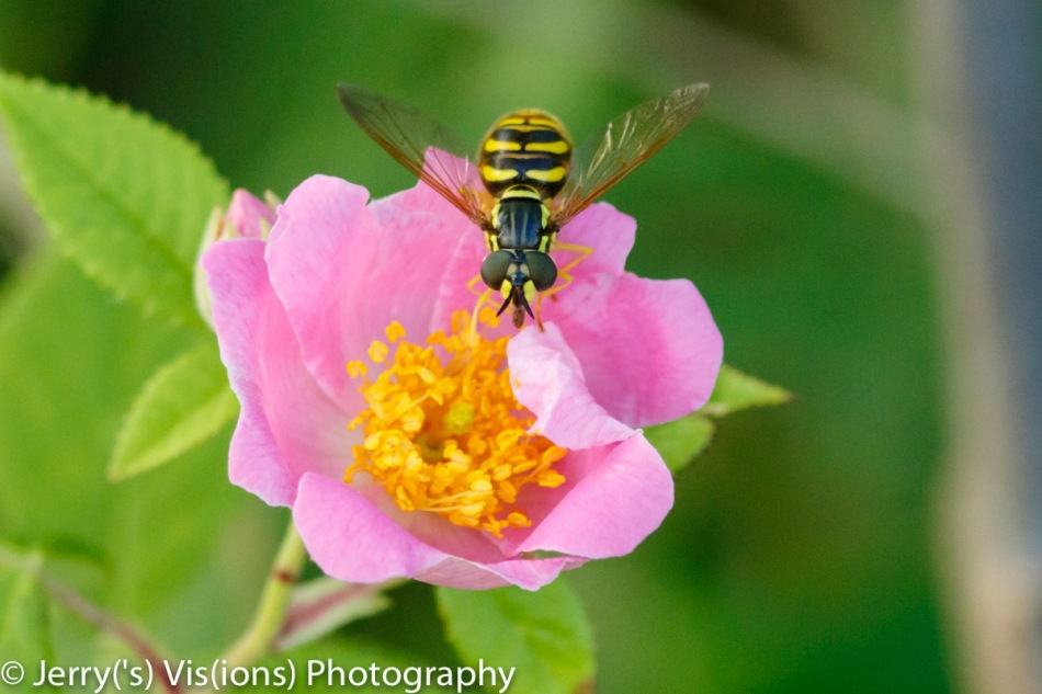 Unidentified fly on a rose