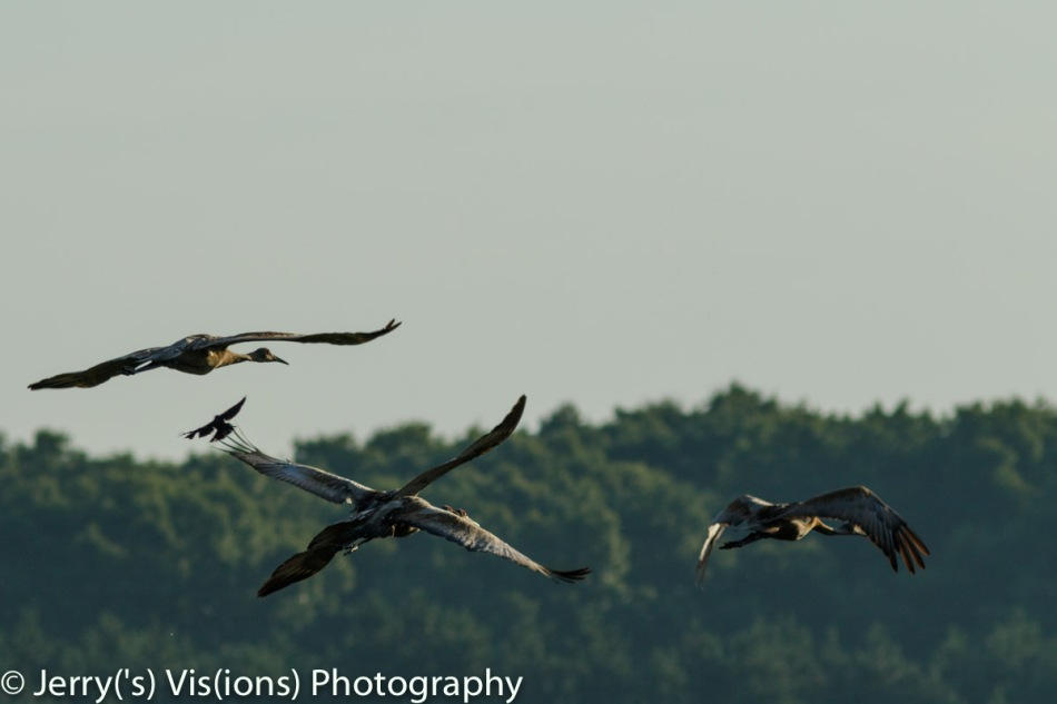 Male red-winged blackbird attacking a flock of sandhill cranes