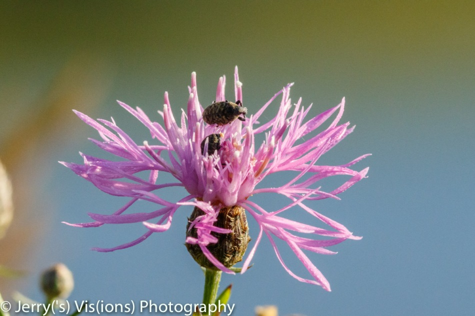 Spotted knapweed and guests